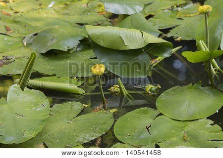 yellow waterlily brandybottle nuphar lutea on pond