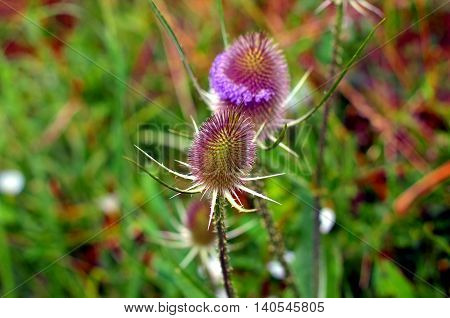 Cirsium vulgare with pink blossom in france closeup