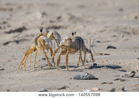 Two Ghost Crabs confronting each other on beach
