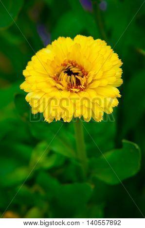 Marigold Flower Macro Calendula Officinalis