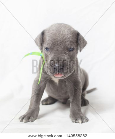 Very young Great Dane purebred puppy looking mean at the camera
