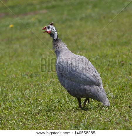 Single guinea that is calling while on the grass on a field