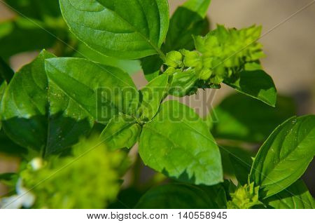 Basil Plants At An Organic Farm, Fresh Sweet  Plant Growth In The Vegetable Garden.