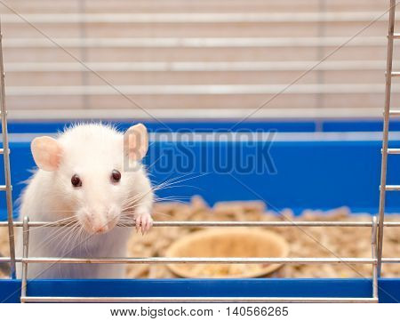 Cute little white rat looking out of a cage (selective focus on the rat eyes)