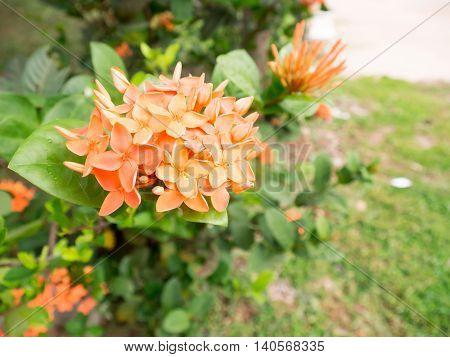 Orange spike flowers in the garden. Thailand