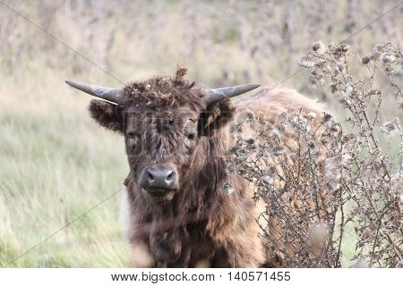 Long haired brown young cow walking through field of tall grasses and weeds, covered in weeds.