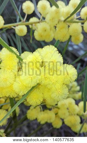 Yellow flowers of the Sweet Wattle (Acacia suaveolens) in the Royal National Park, New South Wales, Australia
