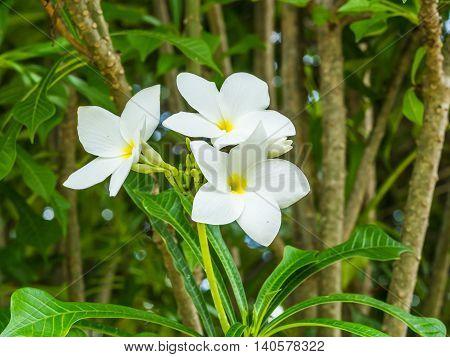 Closeup beautiful white frangipani flowers in garden
