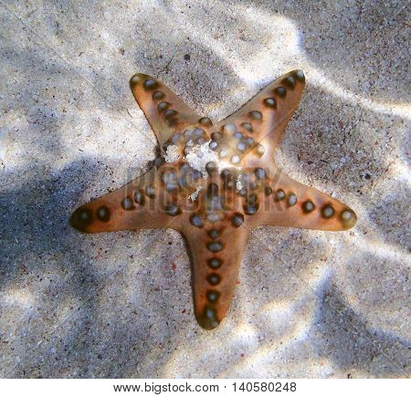 seastar close up view in south Asia