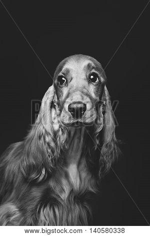 Portrait of beautiful young brown English cocker spaniel dog over black background. Closeup studio shot. Copy space. Monochrome.