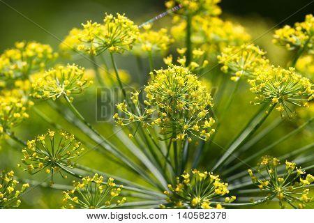 Dill closeup photo. Green aroma umbrella macro stock