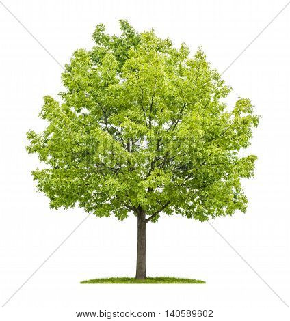 Red Oak Tree On A White Background
