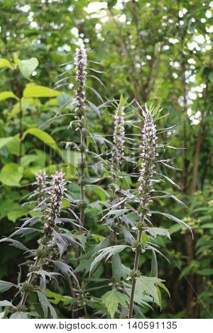 Motherwort (Leonurus) - perennial or biennial herbaceous valuable medicinal plants