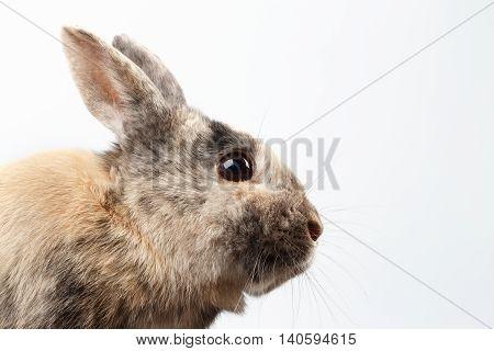 Closeup Head Furry Little rabbit, Brown Fur, on white Background, Profile view