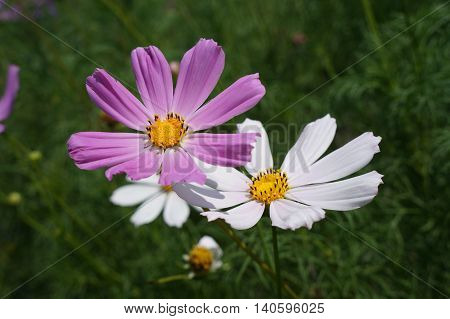 Cosmos (Mexican aster) pink and white flowers.