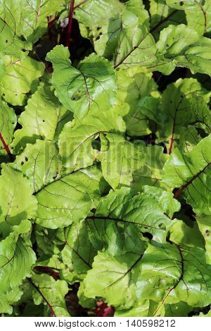 Beet Beta - herbaceous culture plants Amaranth
