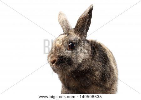 Closeup Head Furry Little rabbit, Brown Fur, isolated on white Background