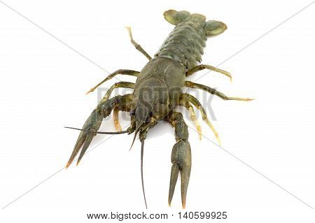 Live crayfish close up on a white background raw