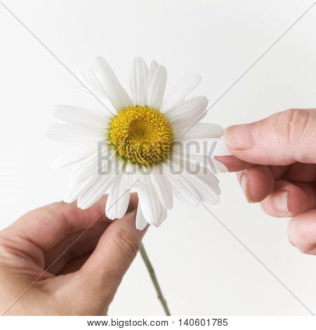 loves or not loves me, plucking off the petals of a chamomile. Bright background