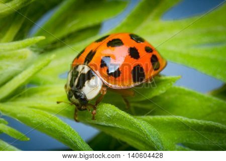 Close up macro adult red lady bug on green leaf