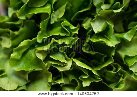 Bunch of Romaine lettuce leaves in closeup macro background