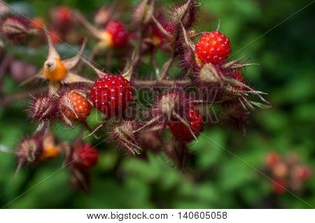 Edible red Asian wild raspberries in macro closeup imagery