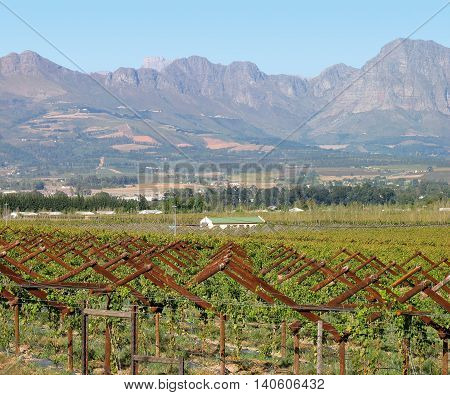 Grape Farm, Paarl, Western Cape South Africa 01