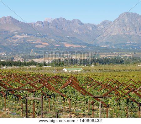 Grape Farm, Paarl, Western Cape South Africa 01