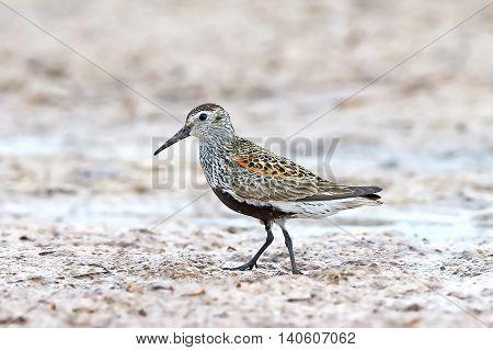 Dunlin (Calidris alpina) standing in sand in its natural habitat