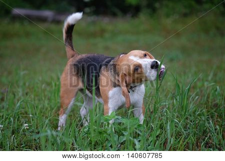 the Beagle dog eats grass in a meadow