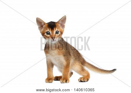 Little Abyssinian Kitty on Isolated White Background, Front view, Baby Animal