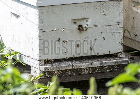 Honey bees entering and exiting a hive during the day