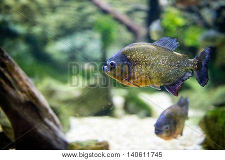 tropical piranha fish in freshwater aquarium