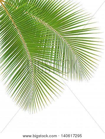 Fresh coconut leaf isolated on white background
