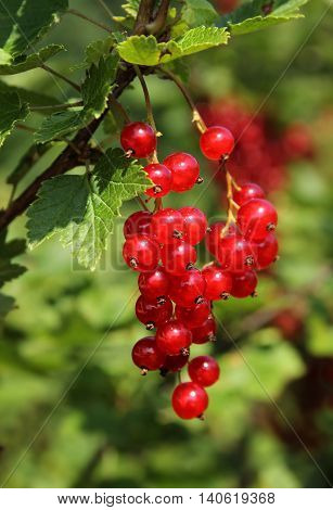 Ripe red currant Ribes Rubrum berries in garden