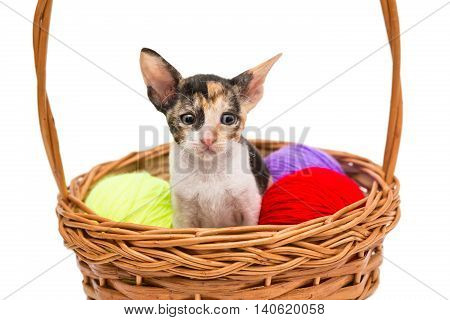 Little kitten Cornish Rex in a basket isolated on white