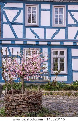 Cherry Blossom bush in front of blue half-timbered house in Eltville Rheingau Hesse Germany