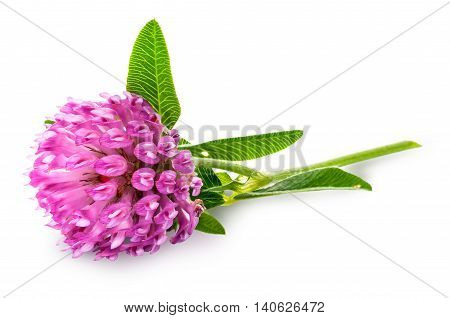 Clover flower with green leaves isolated on white background