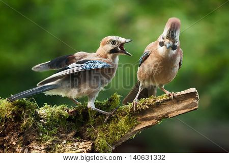 Young Jay bird wanting food from its parent perched on a log close up