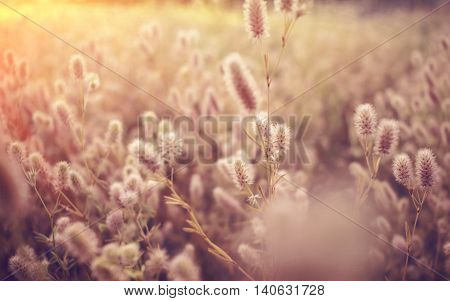 native grass with blurred spikelets at sunset