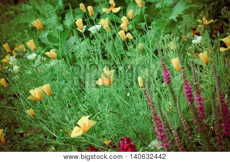 Eschscholzia against green grass background. Eschscholzia Californica, California poppy