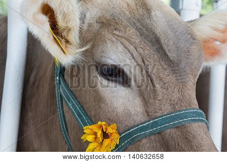 Muzzle of a cow in a stall close-up. Animals