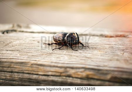 beetle giant rhinoceros on a wooden surface at sunset close-up