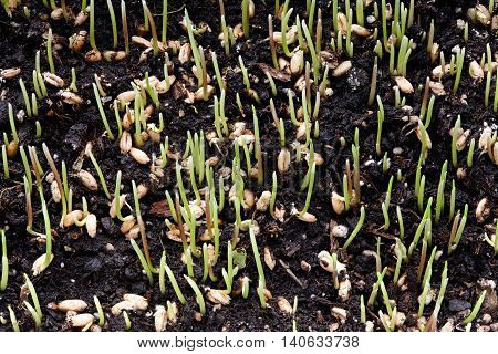 Growing green wheat sprouts from seeds close up view