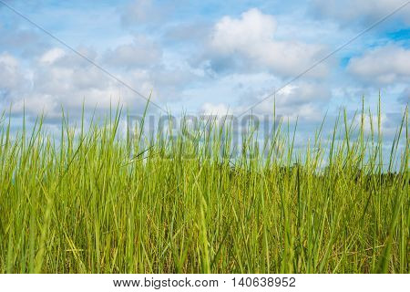 Spring grass and cloudy sky on background