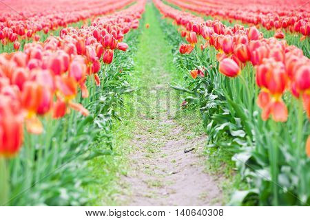 Rows of beautiful red tulips flowers in a large field