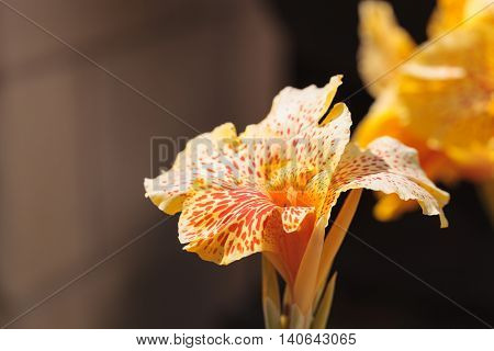 Yellow and orange Canna flower called Maui punch blooms in summer