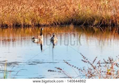Two Canada geese resting on the water in a Northeast Ohio wetland