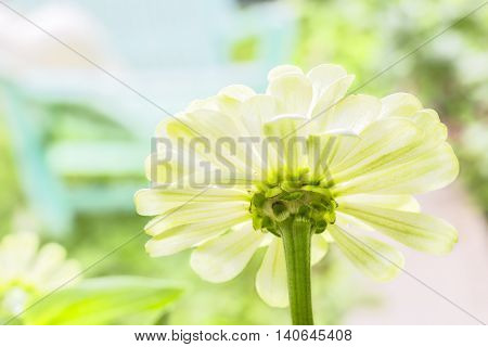 White flower zinnia macro on the blurry background of a sunny lawn and green deck chair with a white hat in the backlight. Selective focus