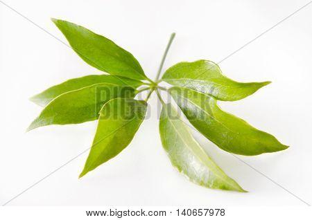 Araliaceae Leaf Isolated On White Background